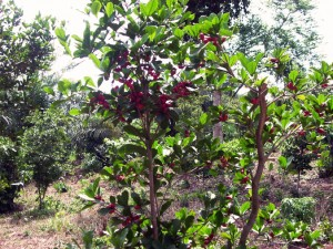 taami berry Tree